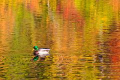 Mallard swimming on fall reflections - stock photo