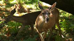 Doe and fawn feeding Stock Footage