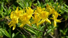 Azalea in yellow, springtime Stock Footage