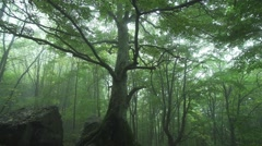 Big tree in the forest surrounded by fog Stock Footage
