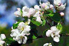 Beautiful flowers of Apple-tree closeup Stock Photos