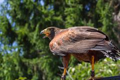 Big and powerful bird of prey hawk Stock Photos