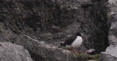 Pair of Puffins Nesting in a Crevice of a Bird Cliff Stock Footage