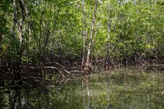 a boat ride through the mangrove forests - stock photo