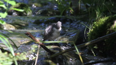 Dipper bird in the river from Georgia Stock Footage