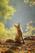 Red fox siitng in backlight during Indian summer Stock Photos