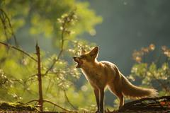 Red fox lick it self in forest beauty autumn backllight Stock Photos