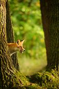 Red fox behind tree trunk peep a lick it self - stock photo