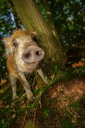 Sniffing wild boar snout from closeup view in dark forest Stock Photos