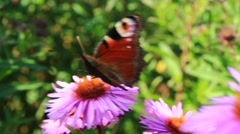 butterfly peacock eye on the aster - stock footage
