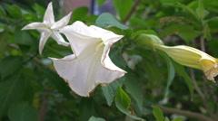 """Datura Metel, """"Angel's Trumpet"""" or """"Devil's Trumpet"""" flowers, zoom in. Stock Footage"""