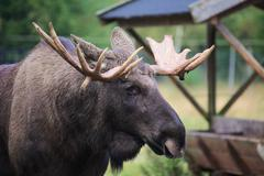 Head of an elk (Alces alces) with mighty antlers Stock Photos