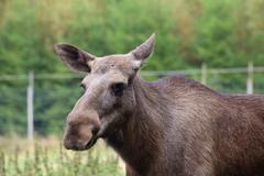 Head of an elk (Alces alces) without antlers Stock Photos