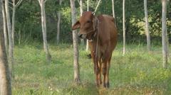 Thai cow between trees,Ubon Ratchathani,Thailand Stock Footage