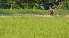 Farmer binding dried rice plants ,Ubon Ratchathani,Thailand - stock footage