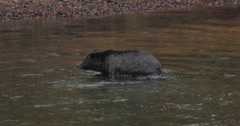 Black bear walking roaming by a river in Yellowstone - stock footage
