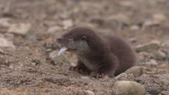 European otter (Lutra lutra) eating on river bank - no color grading Stock Footage