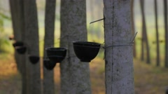 Natural rubber tree plantation,Ubon Ratchathani,Thailand Stock Footage