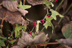 Rough bindweed (Smilax aspera) with fruits surrounded by autumnly brown leave - stock photo