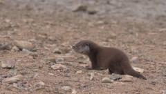European otter (Lutra lutra) running on river bank - no color grading Stock Footage