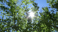 Searching sun plane trees  Stock Footage