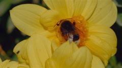 Bee Pollinating a Yellow Flower Macro Shot Stock Footage