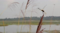 Dragonfly on common reed,Ubon Ratchathani,Thailand Stock Footage