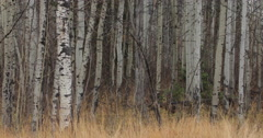 White birch trees in autumn Stock Footage