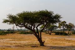 Stock Photo of Large Acacia tree in the open savanna plains Africa