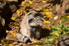 Beautiful wild cat, Pallas's cat, Otocolobus manul Stock Photos