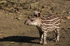 Baby of the endangered South American tapir Stock Photos