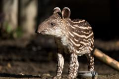 baby of the endangered South American tapir - stock photo