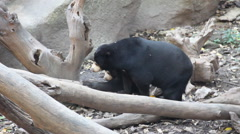 Mother and baby bear Sun Bear. Stock Footage