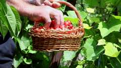 Farmer, hands holding a basket full of ripe, red cherries, orchard, harvest Stock Footage