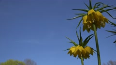 Yellow fritillary flower blooms against spring blue sky. 4K Stock Footage