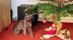 Charming Russian Blue cat playing with Christmas lights, sweet pet Stock Footage