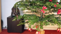 Cute Russian Blue cat playing with fir tree branch, Christmas tree,   Stock Footage
