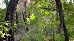 Virginia Creeper Leaves in the Woods Stock Footage