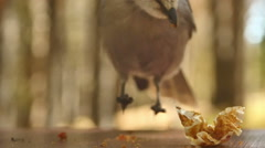 Bird eating scraps slow motion Stock Footage