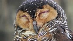 Brown wood owl is sleeping Stock Footage