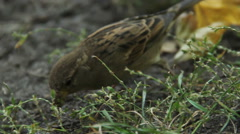 Close up shot of two sparrows harvesting grass seeds. Birds observation hobby Stock Footage