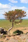 Crooked tree growing on the stone mountain Stock Photos