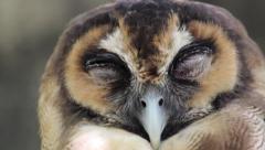 Sleepy brown wood owl close up Stock Footage