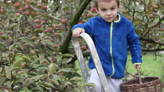 Little preschooler boy, helping with gathering and harvesting apples from app Stock Footage