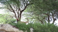 Ibex looks for food in the trees, Israel desert Stock Footage