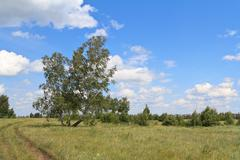 birches standing in the field inclined by a wind - stock photo