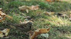 Tiny sparrow looking for food, jumping in green grass. Environmental protection - stock footage