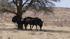 wild (Connochaetes taurinus) Blue Wildebeest Gnu grazing - stock footage