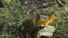 Closeup shot of small house sparrow eating seeds, insects in park on summer day Stock Footage
