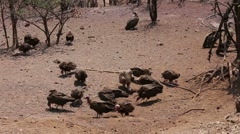 Flock of White backed vulture Stock Footage